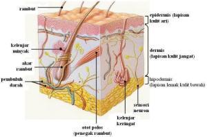 kulit (penampang)