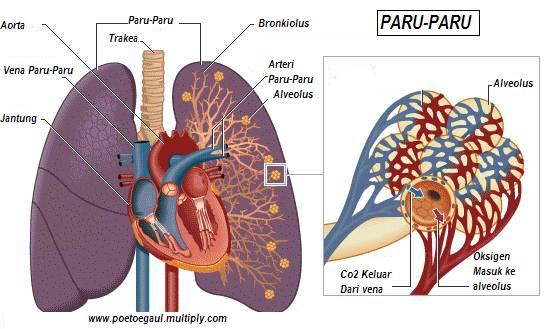 Paru-Paru2-edited